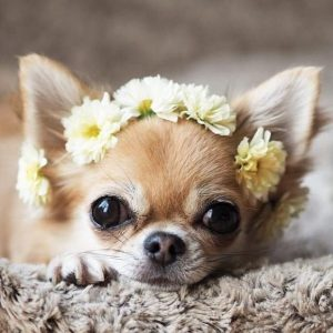Chihuahua dog dressed in flower headband